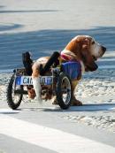 Camillo, il basset hound più famoso di Facebook